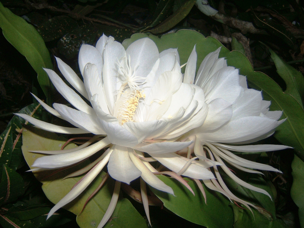 Top 10 most beautiful flowers in the world getgardentips kadupul is a rare flower that grows in the forests of sri lanka few individuals have the chance to enjoy its beauty because the flower opens at midnight izmirmasajfo Image collections
