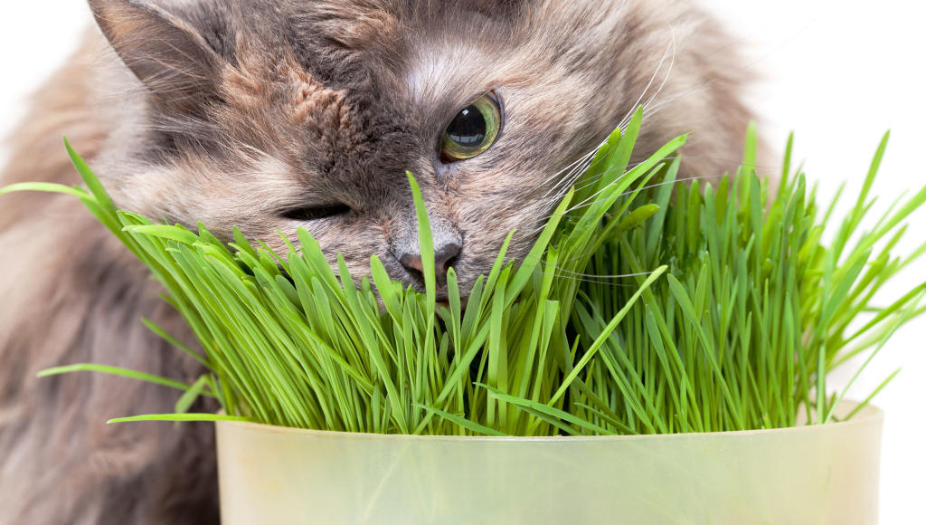 Should Your Cat Eat Grass