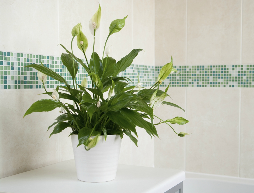 6 ideal plants you should keep in the bathroom for Peace lily in bathroom