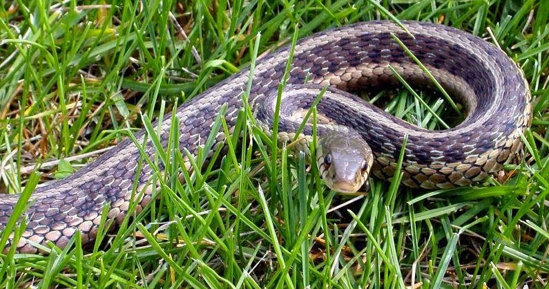 Garden Snake Kill 28 Images How To Get Rid Of Garter Snakes Without Killing Them 7