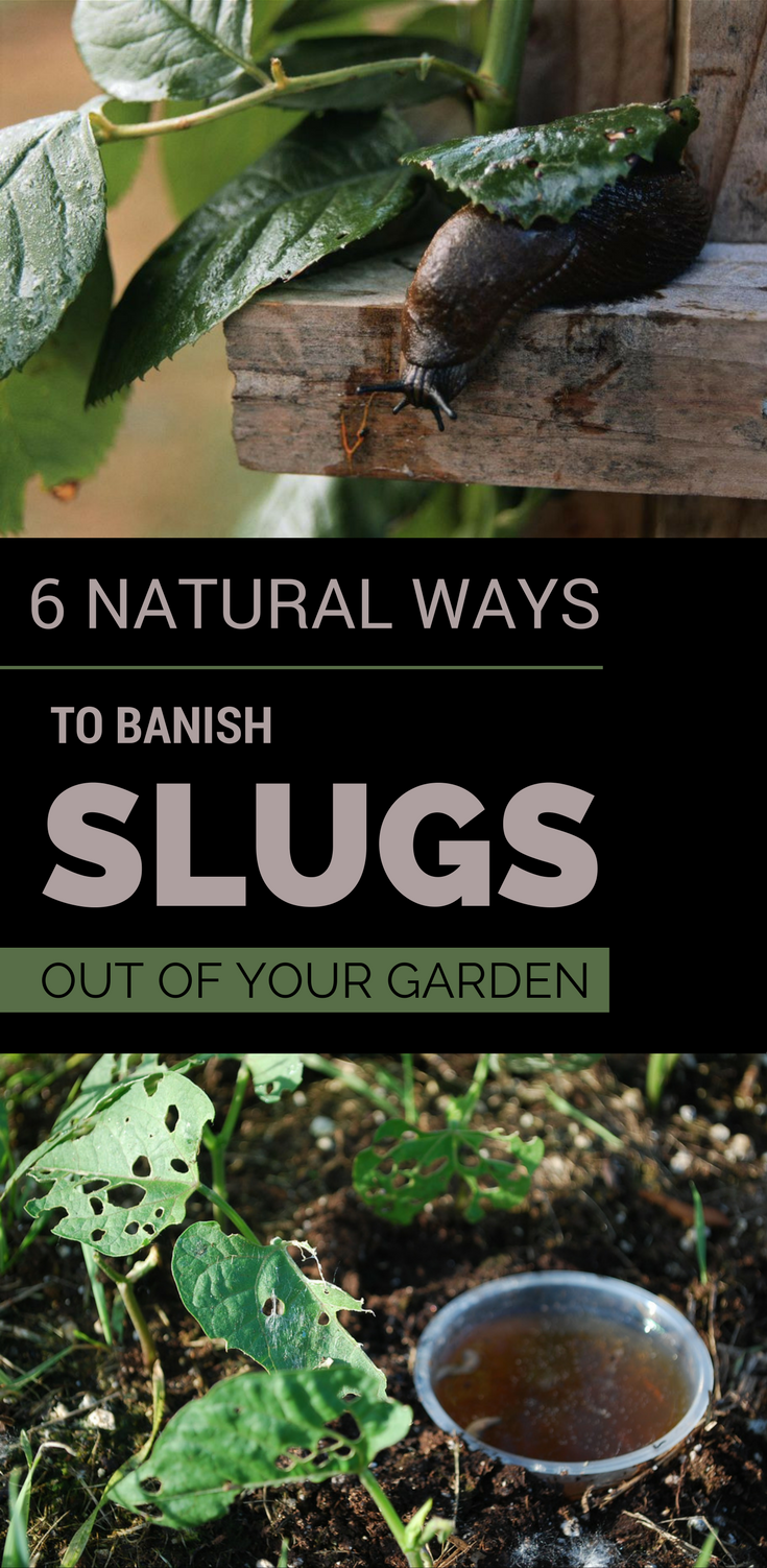 6 Natural Remedies To Banish Slugs Out Of Your Garden