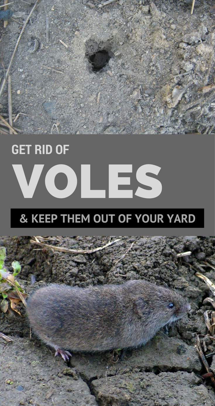 How To Get Rid Of Sewer Smell In Your House: Get Rid Of Voles & Keep Them Out Of Your Yard