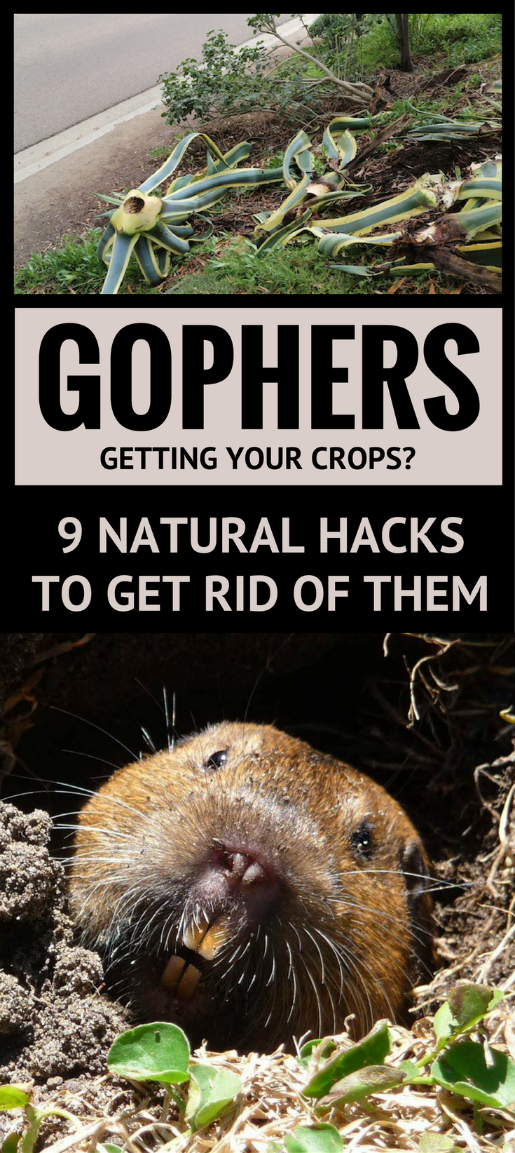 gophers getting your crops 9 natural hacks to get rid of them
