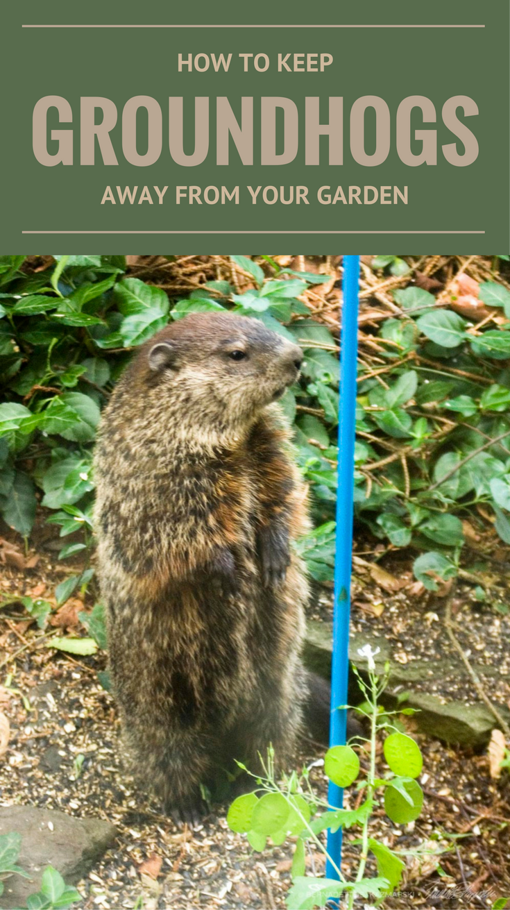 How To Keep Groundhogs Away From Your Garden ...