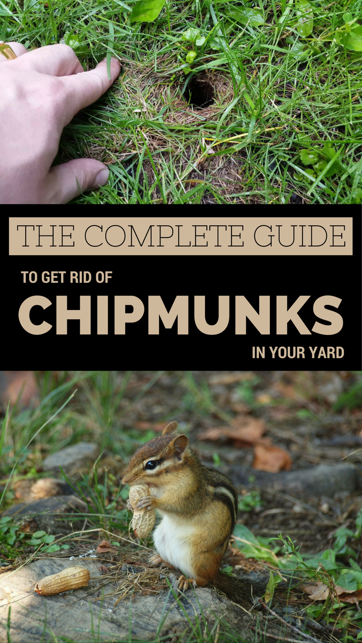 The Complete Guide To Get Rid Of Chipmunks In Your Yard