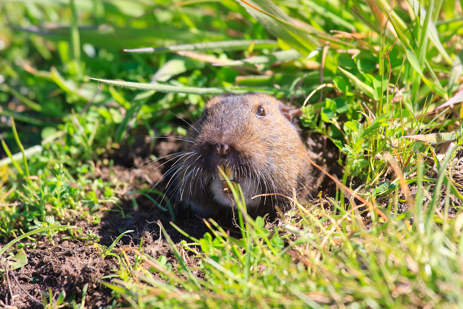 Gopher Killing Plants Gophers Getting Your C...