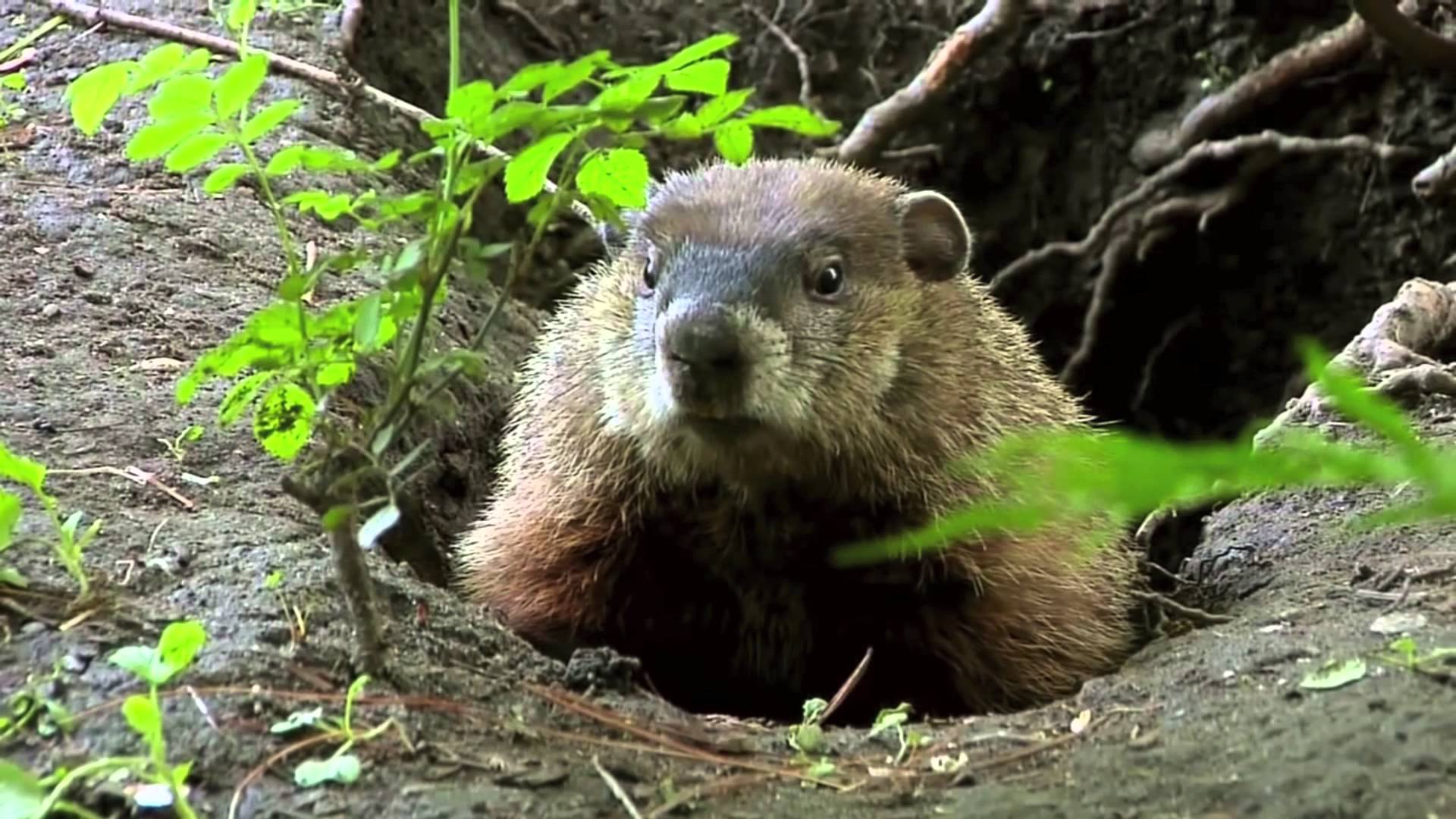 How To Keep Groundhogs Away From Your Garden
