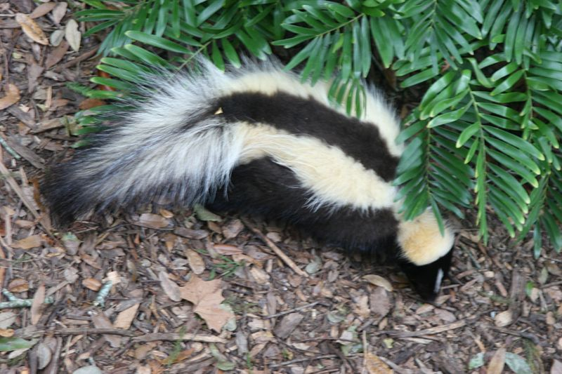 Quick & Effective Ways To Keep Skunks Out Of Your Yard ...