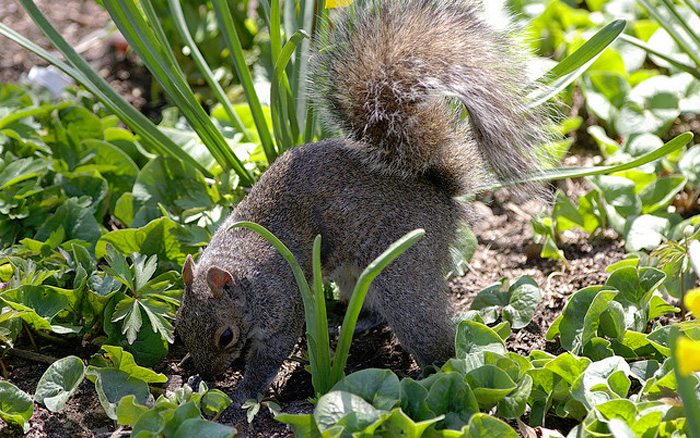 Simple steps to keep squirrels out of your garden - How to keep squirrels from digging in garden ...