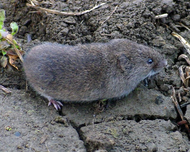 Get rid of voles keep them out of your yard for How to keep mice out of garden