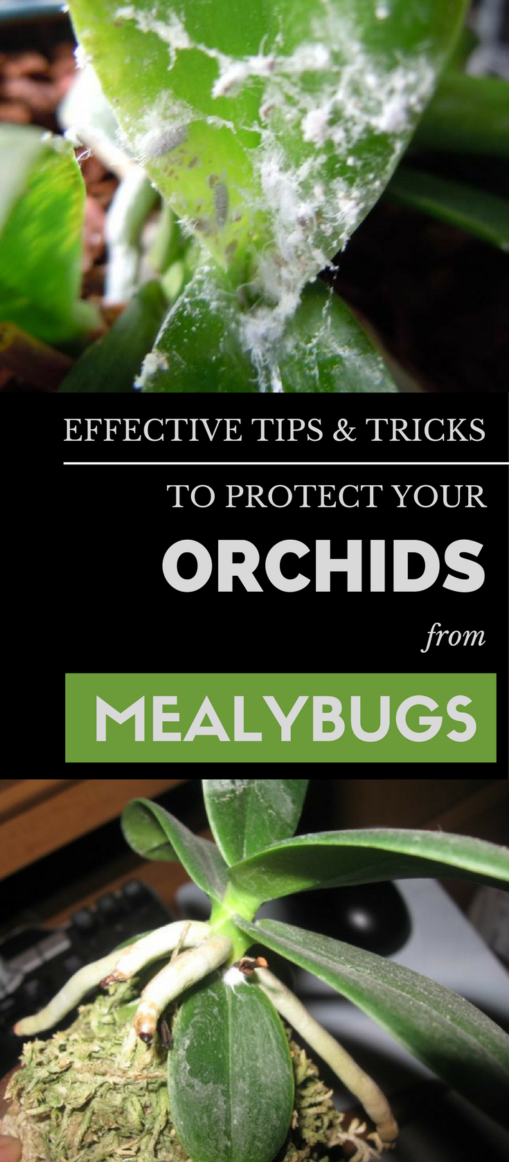 How To Get Rid Of Mildew >> Effective Tips & Tricks to Protect Your Orchids From Mealybugs - GetGardenTips.com