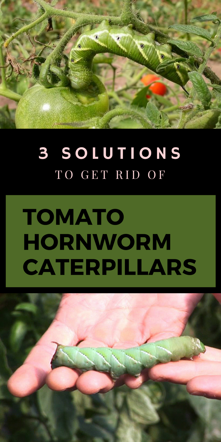 3 Solutions To Get Rid Of Tomato Hornworm Caterpillars