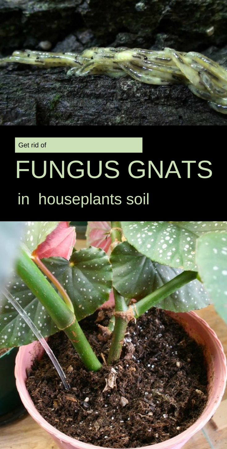 Get Rid Of Fungus Gnats In Houseplants Soil