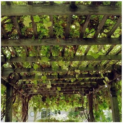Grape Arbor Vine For Shade Getgardentips Com
