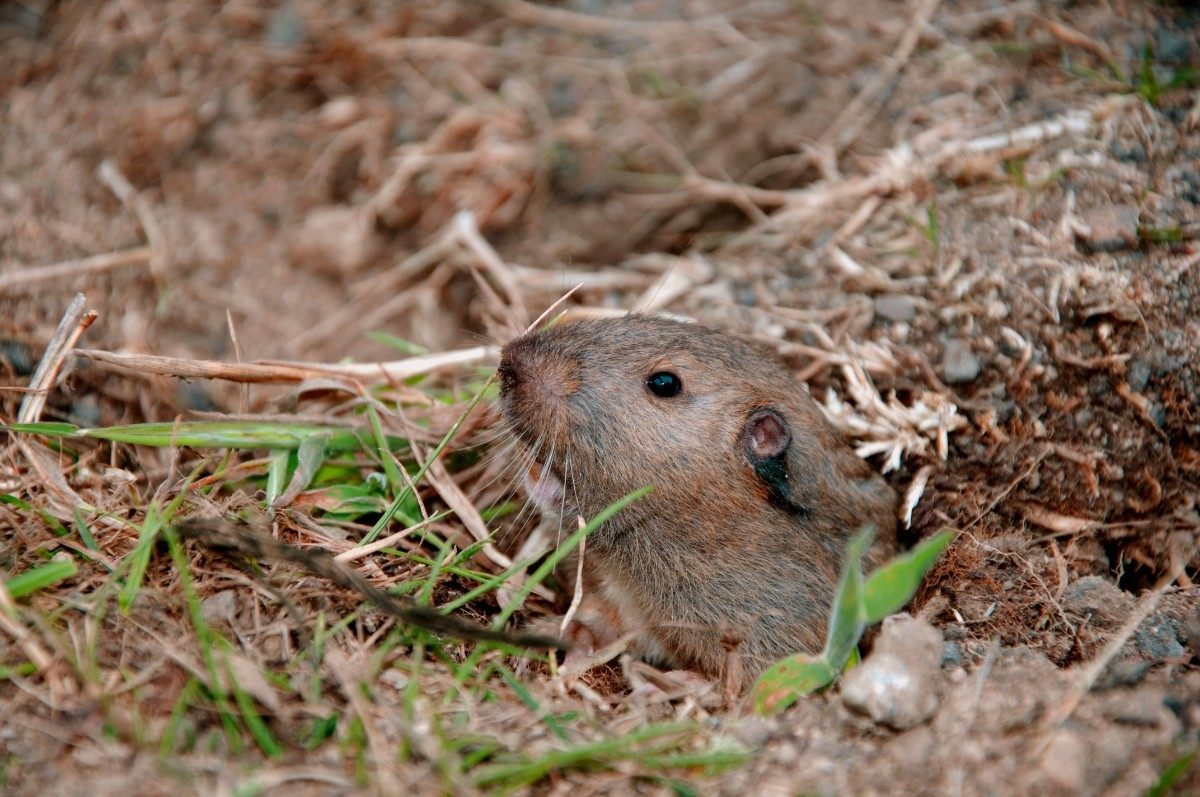 How Can I Get Rid Of Gophers In My Yard Without Hurting ...