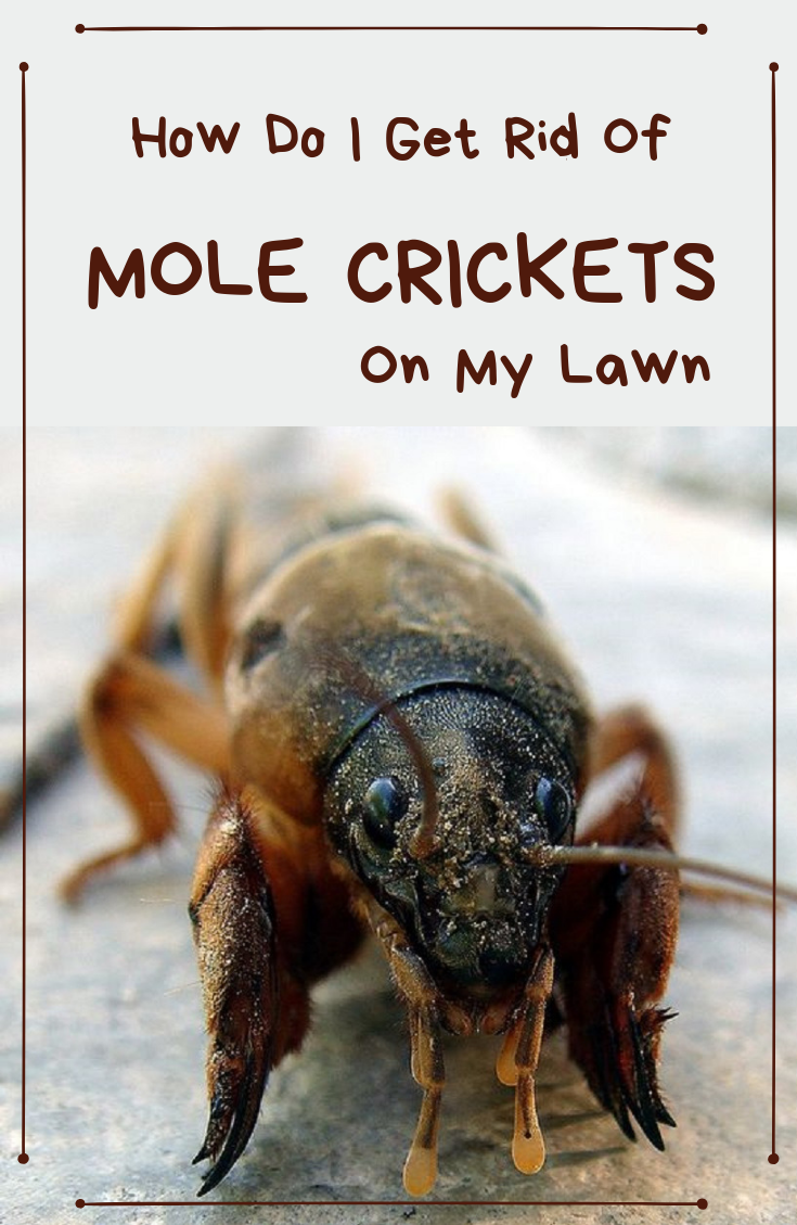 How Do I Get Rid Of Mole Crickets On My Lawn 1 - How To Get Rid Of Mole Crickets In Vegetable Garden